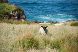 Landscapes of Ireland. Malin Head in Donegal. Sheep grazing - 181259425