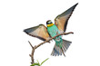 European bee-eater with wings outstretched on a white background