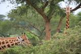 Uganda Murchison Falls National Park Giraffe
