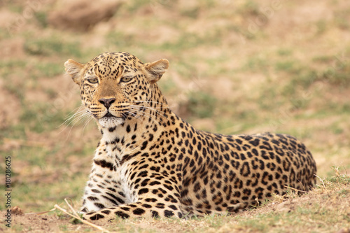 Fototapeta Alert Leopard (Panthera pardus) getting ready to pounce in South Luangwa National Park, Zambia, Southern Africa