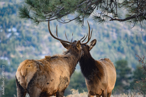 Colorado Elk плакат