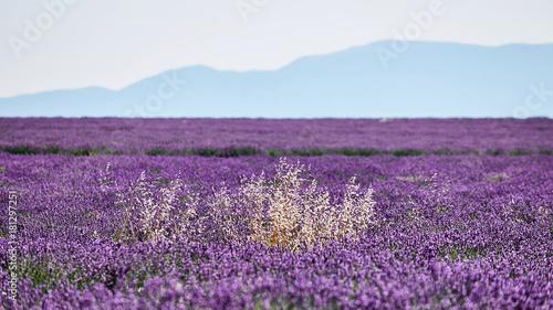 Aluminium Lavendel white flowers among lavender