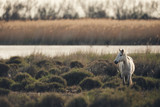 White horse of Camargue, matte style.