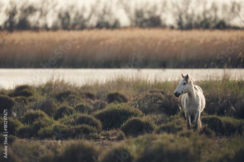 Plexiglas Paarden White horse of Camargue, matte style.