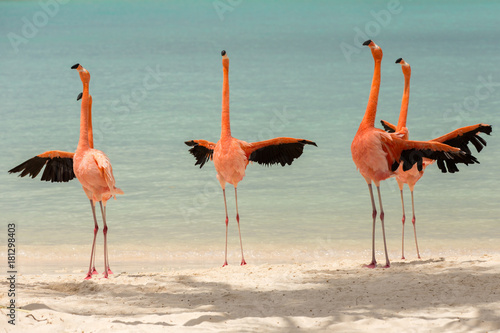 A flamboyance of flamingos spreading their wings