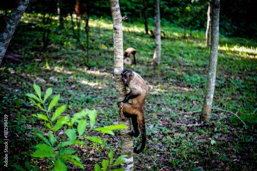Fotobehang Aap Macaco Prego