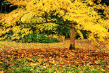 Tree with yellow fall foliage in Seattle's Washington Park Arboretum botanical Garden - 181300022
