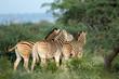 Plains (Burchells) zebras (Equus burchelli) in natural habitat, South Africa.