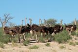 Group of ostriches (Struthio camelus) in natural habitat, Kalahari desert, South Africa. - 181317656