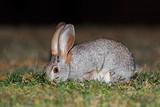 Scrub hare (Lepus saxatilis) in natural habitat, South Africa .