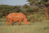 A white rhinoceros (Ceratotherium simum) grazing in natural habitat, South Africa. - 181317681