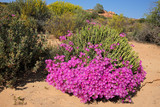 Brightly colored wild flowers, Namaqualand, Northern Cape, South Africa.