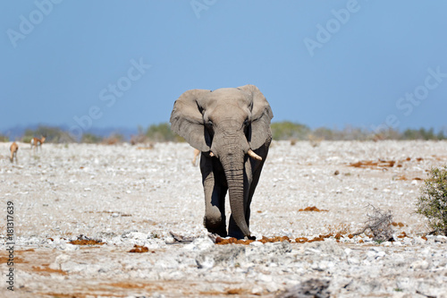 African elephant (Loxodonta africana), walking on open plains, Etosha National Park, Namibia Poster