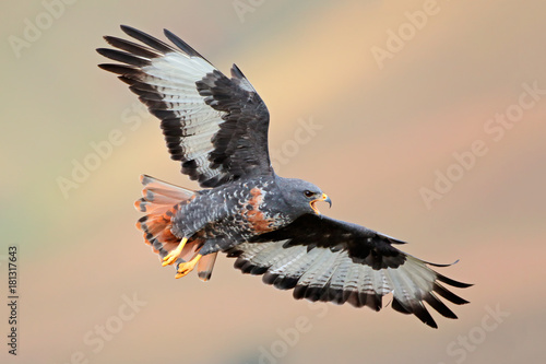 Jackal buzzard (Buteo rufofuscus) in flight with outstretched wings, South Afric Poster