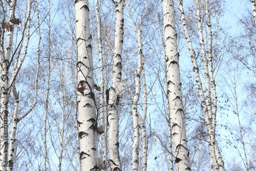 Trunks of birch trees in forest / birches in sunlight in spring / birch trees in bright sunshine / birch trees with white bark / beautiful landscape with white birches - 181327275