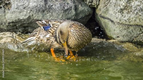 Femmina di germano reale ( Anas platyrhynchos) che si liscia il piumaggio