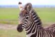 Portrait of a plains zebra foal