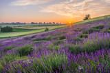 Blooming lavender fields in Poland, beautfiul sunrise - 181333865