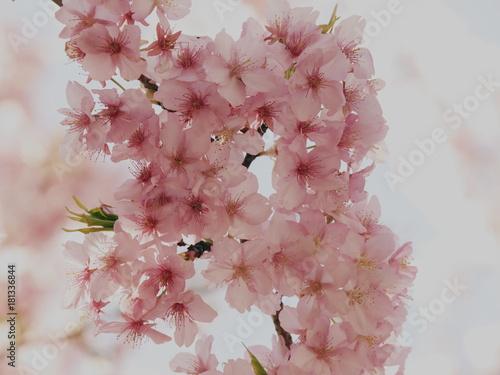 淡い桜色の花びら Poster