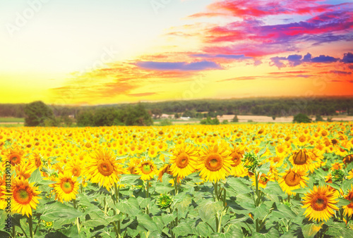 Plexiglas Geel Landscape with colorful sunflowers at sunset, retro toned