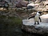 Pingiwn w zoo - 181340476