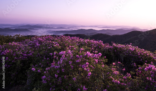 Staande foto Purper 산 정상에서 본 철쭉꽃과 운해