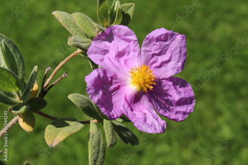 Paper Like White Leaved Rockrose Flowers Or Grey Leaved Cistus