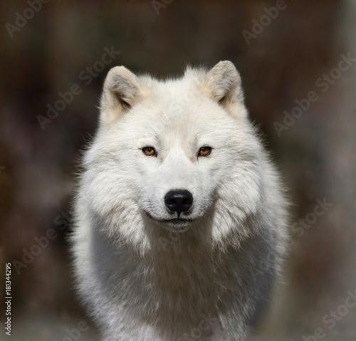 Plexiglas Wolf loup arctique dans la brume