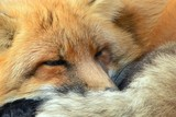 Red Fox is sleeping - Vulpes vulpes. - 181349207