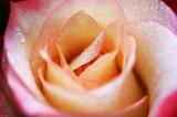 Розы. - 181353223