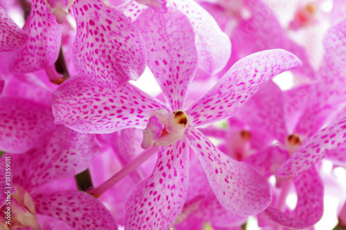 close up of beautiful pink orchid flower as background. - 181359011
