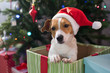 Dog breed Jack Russell under the Christmas tree