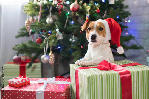 Foto Murales Dog breed Jack Russell under the Christmas tree