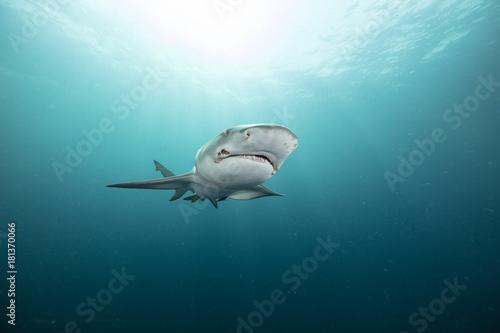Fototapeta Lemon Shark (Florida)