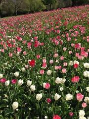 champs de tulipes
