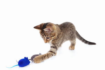 Little kitten is played with a blue and gray toy mouse on a white background