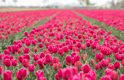 Foto op Canvas Candy roze Red Tulips fields of the Bollenstreek, South Holland, Netherlands