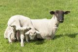 Schafe (Ovis gmelini aries), Schaf mit Lamm. - 181385604