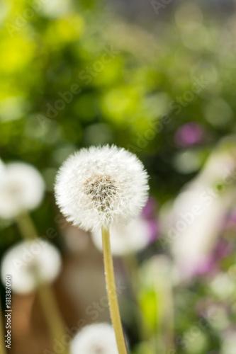 Plexiglas Paardebloemen Tender white dandelions in the summer time. Beautiful summer background. Copy space.
