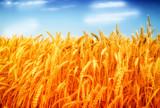 Wheat field against a blue sky - 181387227