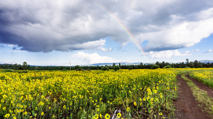 Rainbow Over a Field of Wild Sunflowers