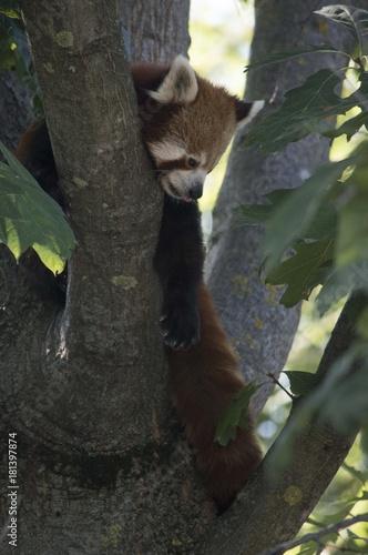 Fotobehang Panda Panda Rosso