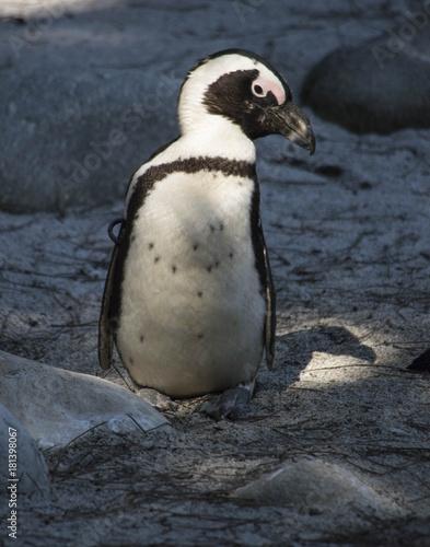 Plexiglas Pinguin Pinguini