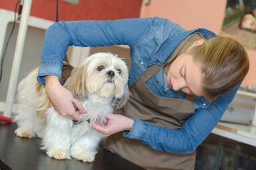 cute little dog at groomer salon