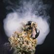 Detail of bee over cannabis bud (purple alien strain) - medical marijuana concept