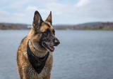 Wet German Shepherd Dog standing by Quidi Vidi Lake