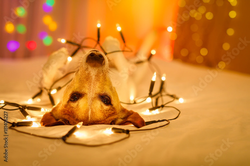 Staande foto Crazy dog christmas dog with fairy lights