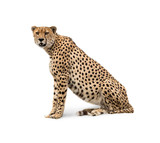 Cheetah Isolated on White - 181410898