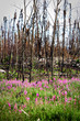 The first growth of plants after a devastating forest fire