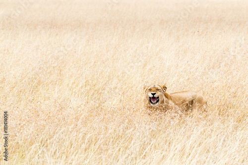 Happy Lioness Hiding in Tall Grass of Kenya Poster